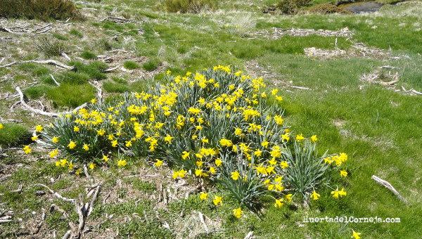 Narcissus pseudonarcissus subsp. portensis, en la Serrota.