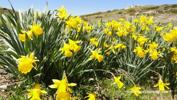 Narcissus pseudonarcissus subsp. portensis.