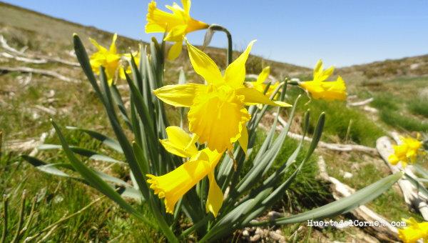 Narcisos silvestres en flor. La Serrota, Ávila.