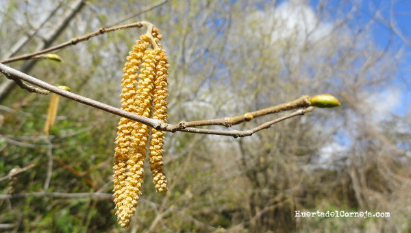 flor masculina avellano