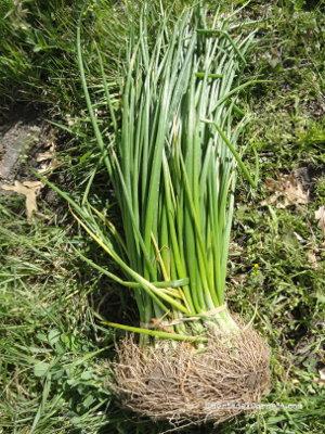 Plantones de cebolla