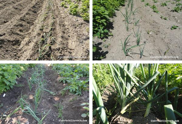 cebollas plantadas, prendidas,  escardadas y  creciendo