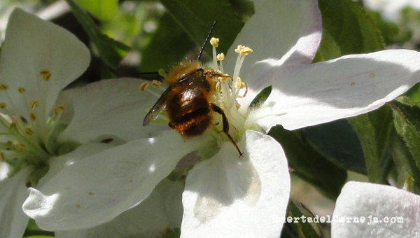 Pequeña abeja solitaria en manzano (Osmia spp.)