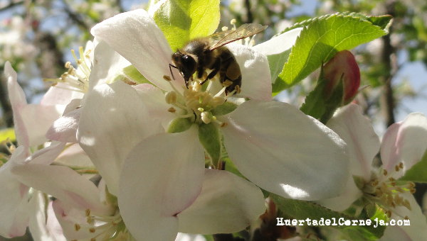 Abeja en flor de manzano golden