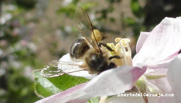 Abeja con polen en patas