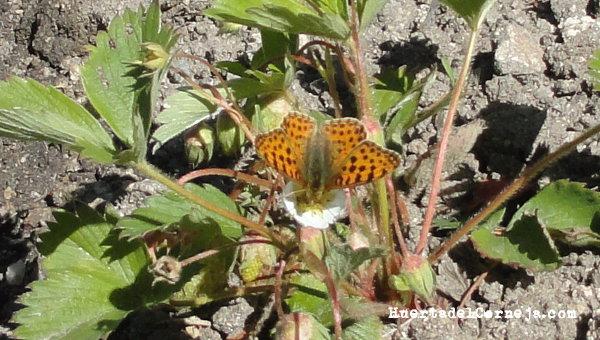 Mariposa en flor de fresa