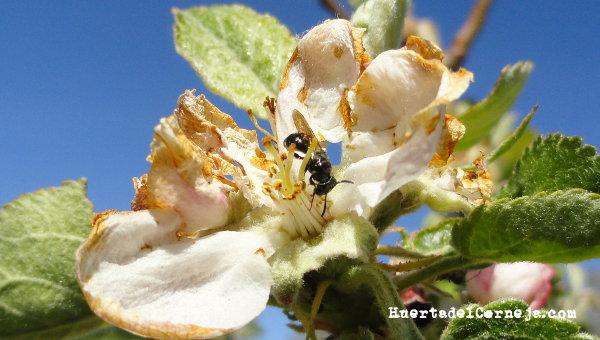 Abeja minadora (Andrena spp)