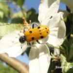 Insectos polinizadores en la huerta