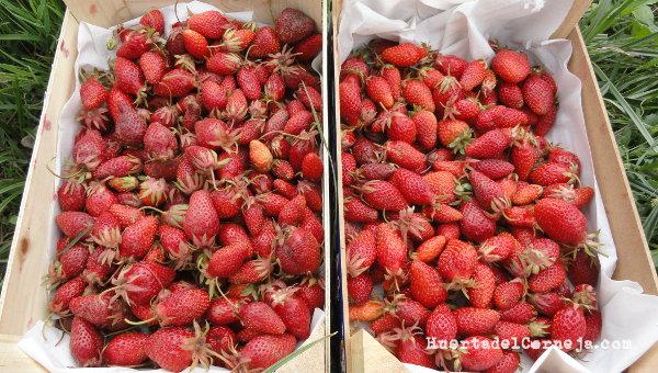 Cosecha de fresas de Aranjuez y fresones.
