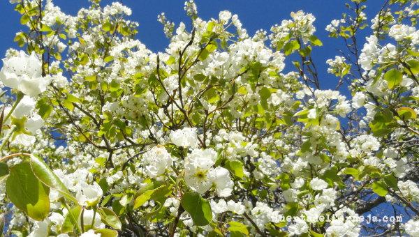 Peral autóctono de longuindo en plena floración