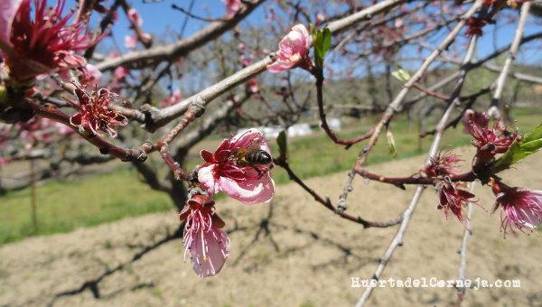 Abeja en flor de melocotonero
