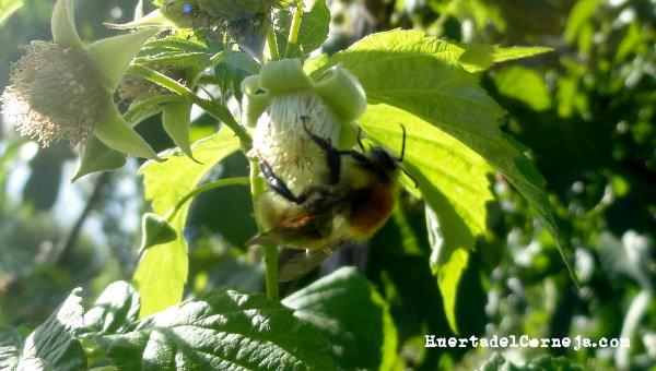 Abejorro en flor de frambuesa