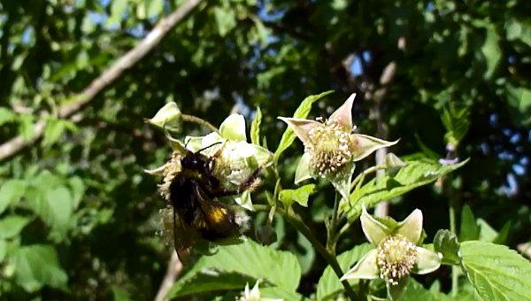Bombus terrestris, en flor de frambuesa