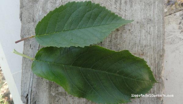Hojas de cerezo silvestre (arriba) y cultivado.