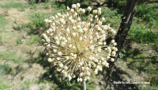 Madurando las semillas de puerro