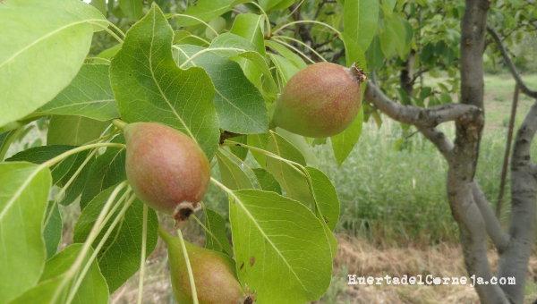 frutos peral ercoli, pera agua
