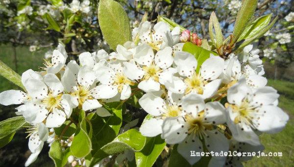 Flores de peral ercolina