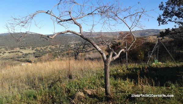 Prunus persica. Poda de rejuvenecimiento