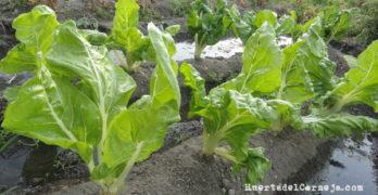 Cómo cultivar acelgas.