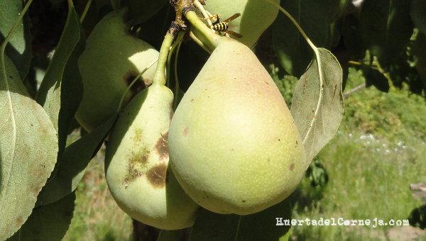 Peras afectadas por hongos, moteado.