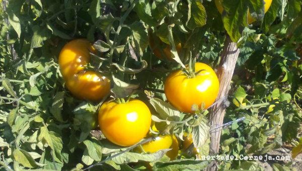 Tomates amarillos en planta