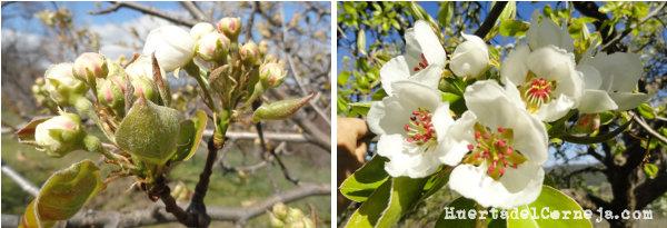 Flores de peral de Aranjuez