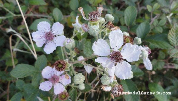 Flores de zarza.