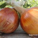 Cómo plantar y cultivar cebollas