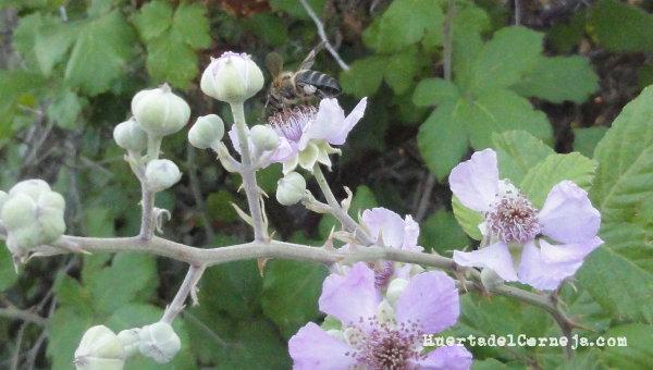Polinización de flores de zarza.