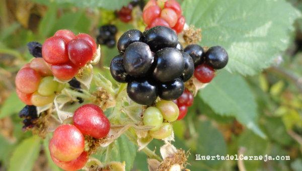 fruto zarza r. caesius