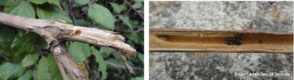 abeja en tallo zarza