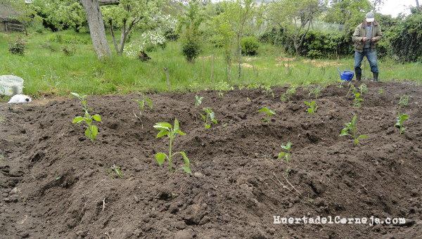 Plantando pimientos.
