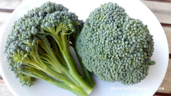 Cómo sembrar y cultivar brócoli. La verdura del siglo XXI.