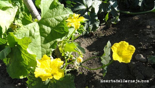 Flores de las calabazas de esponja
