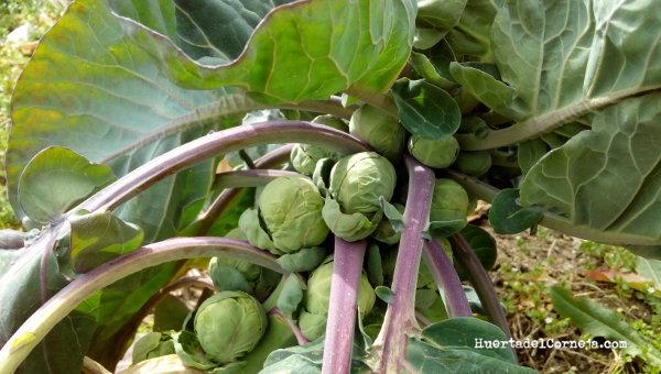 Coles De Bruselas Planta